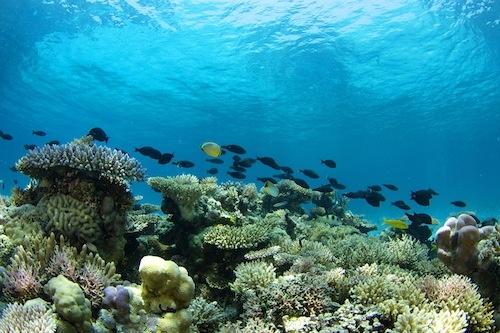 Sorpresa, il corallo torna a crescere. La barriera di Scott, al largo dell'Australia occidentale, ha aumentato del 44 per cento la copertura dei fondali in soli 12 anni. La scoperta su Science. Credits immagine: N. Thake. Leggi l'articolo su Galileo: http://www.galileonet.it/articles/5162cb3fa5717a485b00007c