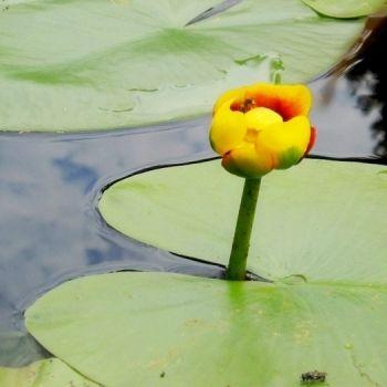 Grążel żółty (fot. www.sxc.hu/bbrouw83)