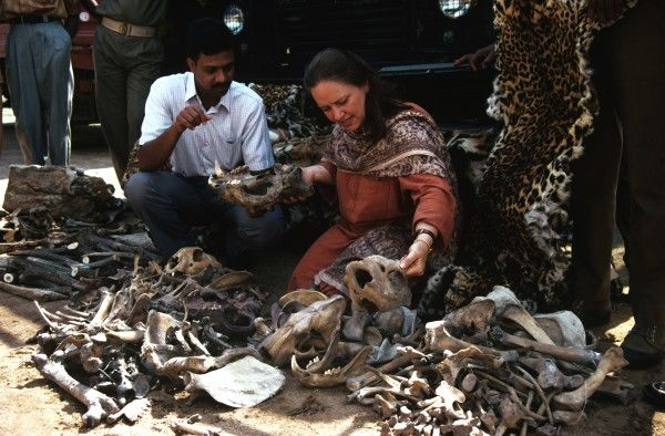 Tiger poaching. Tiger bones of Bengal tigers shot by poachers confiscated in India.