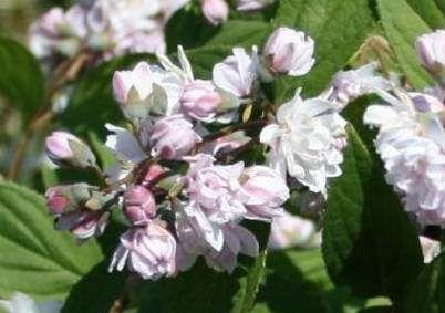 Teltvirágú gyöngyvirágcserje.  A telt virágok az oldalhajtások végén tömött gömb alakú fejecskében nyílnak június júliusban. Termése száraz tok, amely egész télen a bokron marad. Szoliter cserjének, vagy kisebb csoportos kiültetésre alkalmas