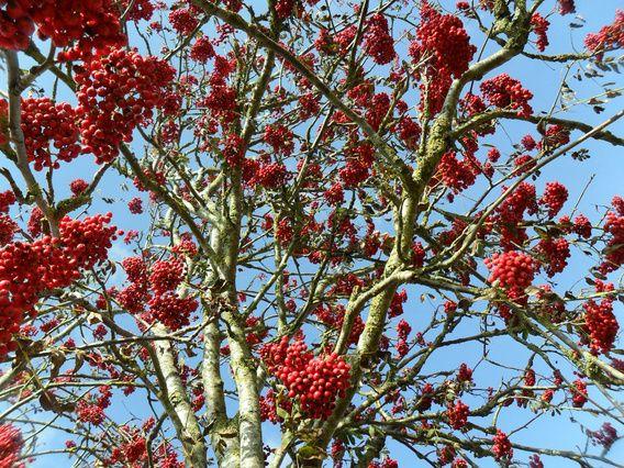 Rode bessen van recht onder de boom.
