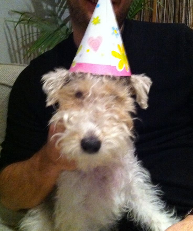 wire haired terrier   Happy birthday.   Wire haired terriers   Pinterest