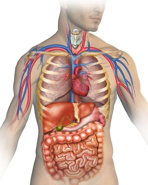 organernes placering i kroppen