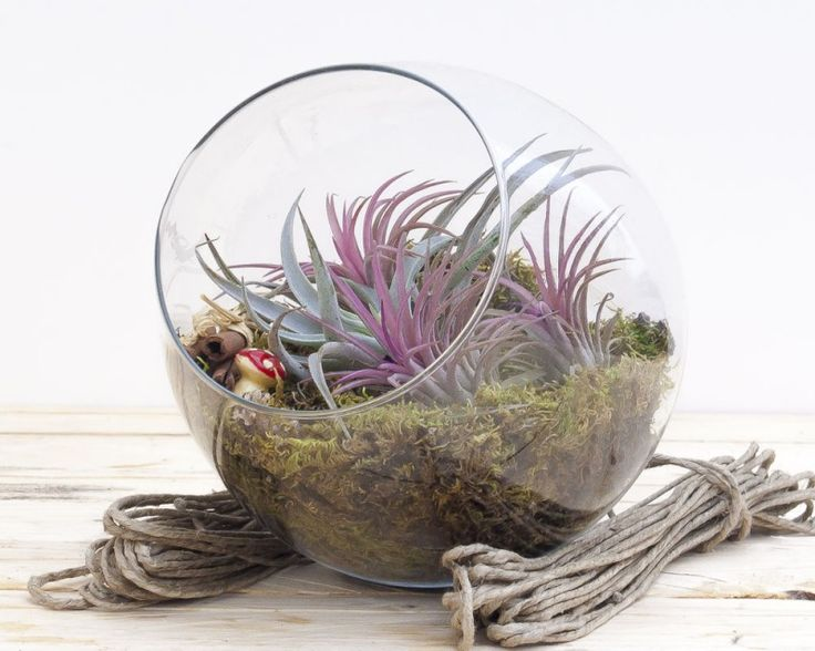 Air Plant Terrarium from Airplants.gr #Tillandsia #Harissii #Ionantha_Rood #AirPlant #Terrarium