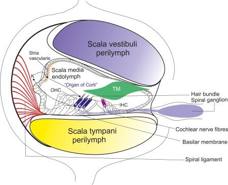 233 best images about science infographics on pinterest ... cochlea diagram detailed cochlea diagram cells lining scala typani
