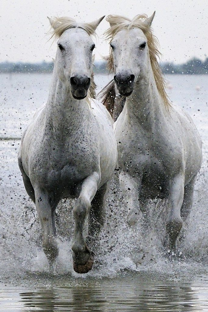 awesomepossumequines:  Two white horses running through the lagoon by Peter Wilman