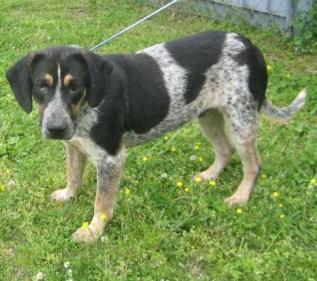 Bluetick Coonhound M named Jethro in Tupelo, MS Tupelo