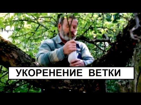 Размножение отводками.Укоренение воздушного отводка. ч2 - YouTube
