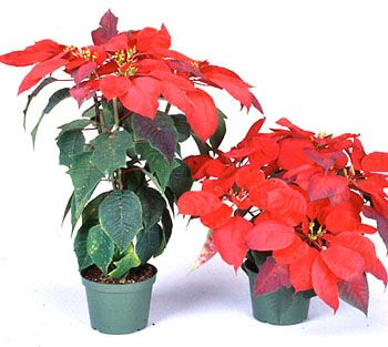 stunting: reduction in height of a vertical axis resulting from a progressive reduction in the length of successive internodes or a decrease in their number (phytoplasma-infected poinsettias (right) are stunted compared to noninfected plants)
