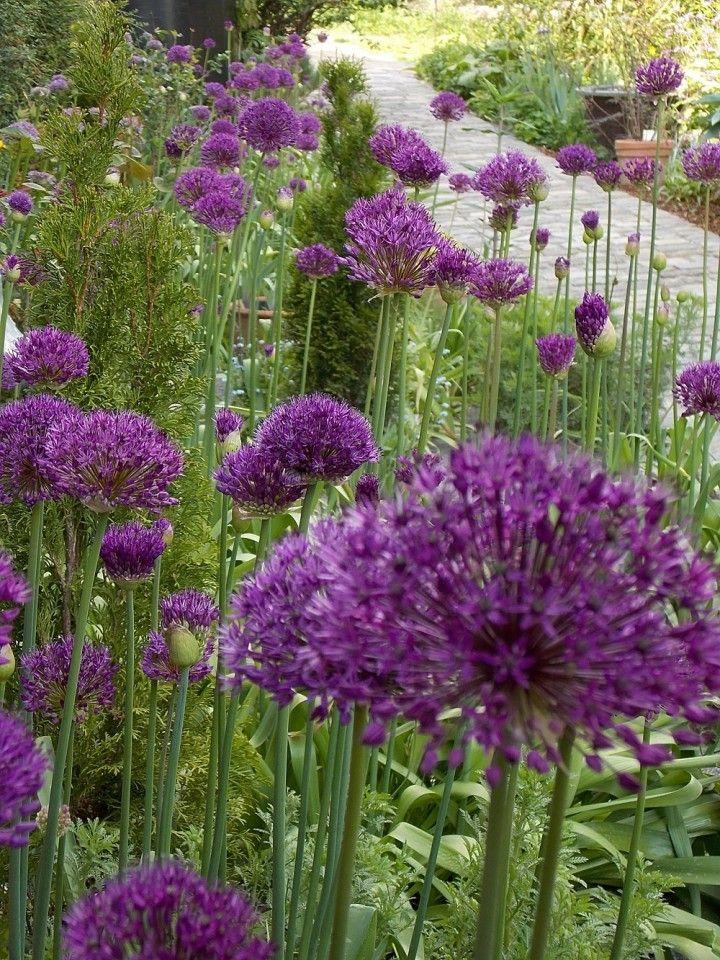 Lila Mediterrane Pflanzen Garten Mediterrane Pflanzen Garten