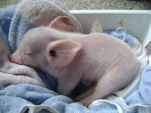i don't think there is anything cuter than this.: Piglets, Babies, Sweet, Baby Pigs, Adorable, Piggies, Baby Animals, Piggy