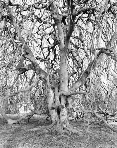Mitch Epstein,Weeping Beech, Woodlawn Cemetery, Bronx, 2011, 2011.: Intense Trees, Awesome Trees, Black And White, Amazing Trees, Mitch Epstein, Art, Bronx 2011, Woodlawn Cemetery, Epstein Weeping Beech