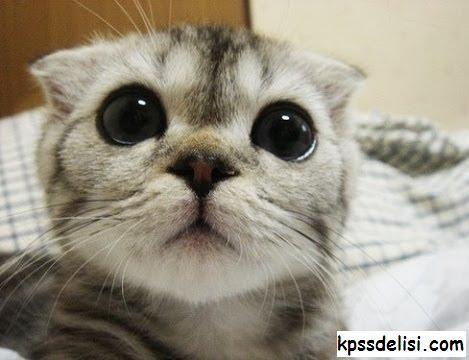 Kedi Resimleri, Komik kedi resimleri, En güzel yavru kedi resimleri, Tatlı yavru kedi resimleri, En güzel kedi resimleri, Dünyanın en güzel kedi resimleri, Kedi türleri http://www.kpssdelisi.com/kedi-resimleri/