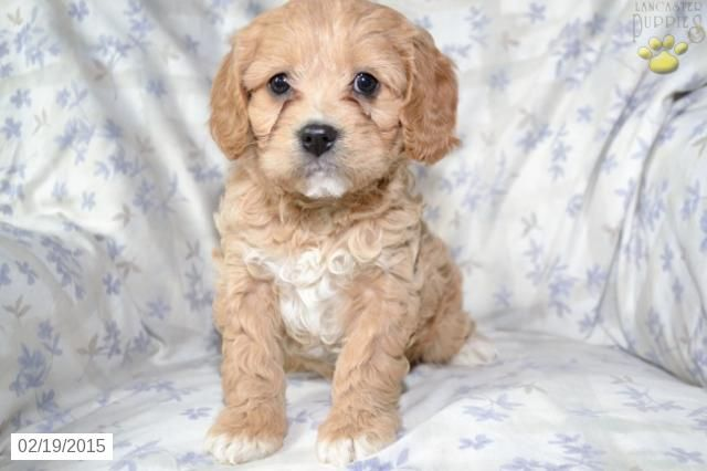Cavapoo Puppy for Sale in Ohio http//www.buckeyepuppies