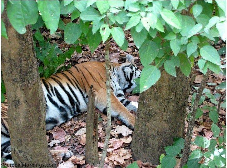 Tigeress at Kanha National Park, just after a kill