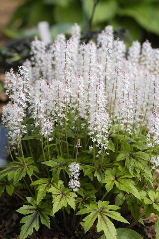 One of our favorite shade perennials is now blooming! Tiarella has unique foliage and looks stunning while in bloom!