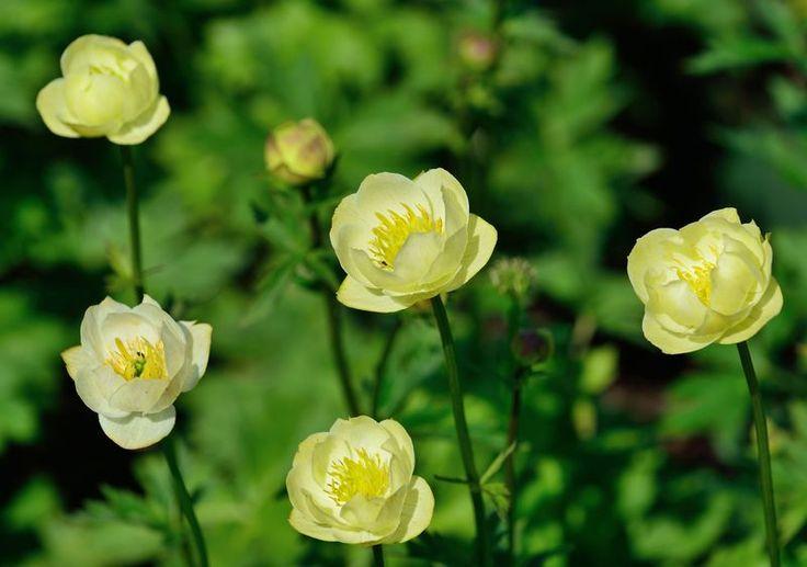 Trollius x cultorum 'Alabaster' / Garten-Trollblume – ballförmige Blüten krönen die bis zu 50cm hohe Garten-Trollblume, die schon ab Mai ihre Schönheit präsentieren