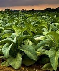 Tabaco planta