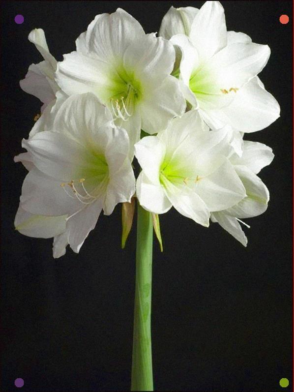 Amaryllis Varieties Hgtv Amaryllis Flowers Amaryllis Flower Meanings