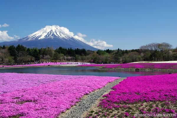 Shibazakura (芝桜, pink moss) in Yamanashi Prefecture, near Kawaguchi Lake, with Mt. Fuji in the background. Beautiful!  via Zooming Japan Twitter @Zooming Japan