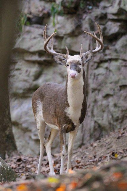 Piebald buck. Piebald deer have various amounts white and brown patches, some ranging from a very slight amount of white hair to almost an a...