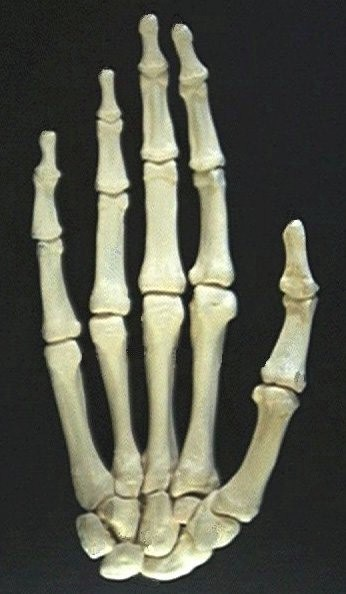 best 25+ human hand bones ideas on pinterest | hand bone, hand, Sphenoid
