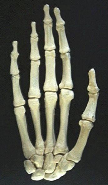 More human hand bone identification activities.