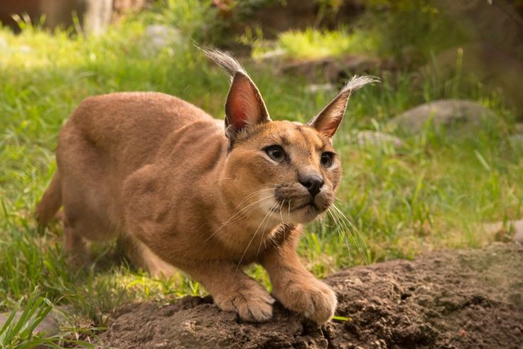 caracal by michael durham