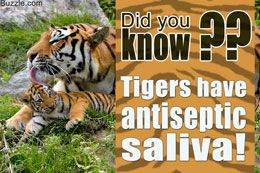 Fact about tigers