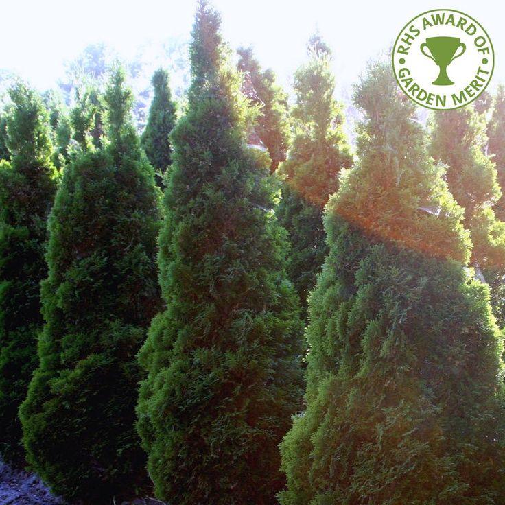 Thuja Occidentalis Holmstrup Conifer