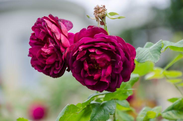 лето...ботанический сад...розы...