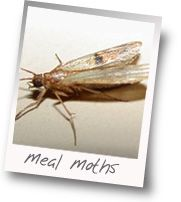 Real food in the pantry means real bugs too.  Here's how to get rid of pantry moths.