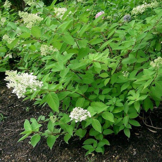 Hortensia - Hydrangea paniculata Grandiflora