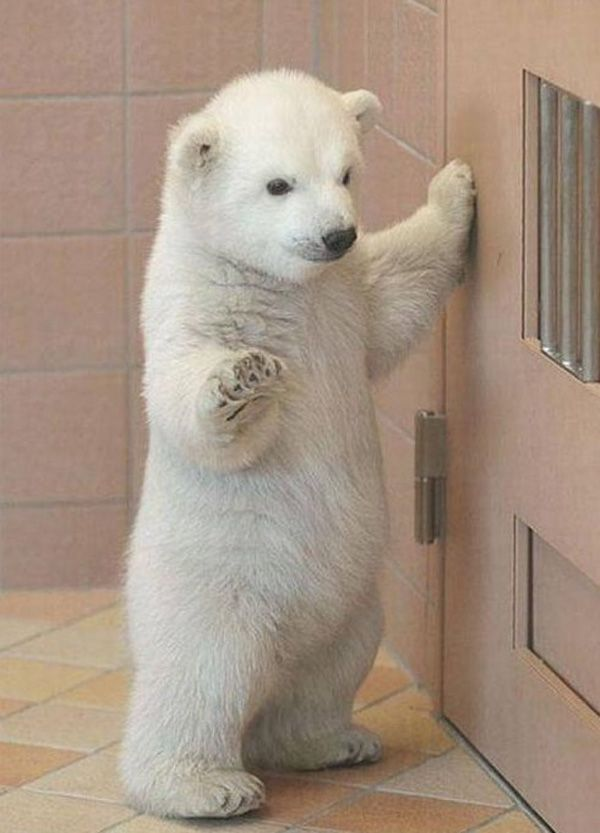Baby Polar Bear Standing Up...sooo Cute!