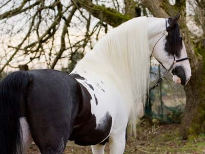 CA Para Dice Nite- Saddlebred: Beautiful Horses, Animals, Equine, Gorgeous Horses, Paint Horses, Dream Horses, Pinto Horses