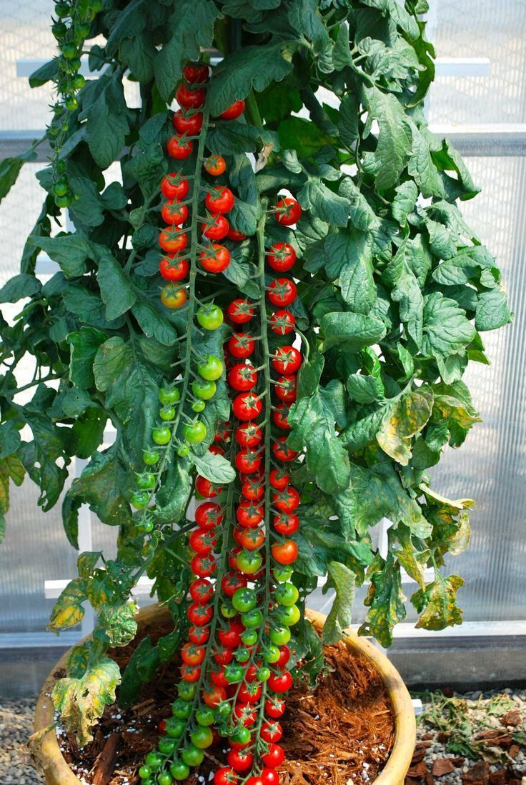 Rapunzel  ($7.95) 70 days.  (H)     (E)     This new, awesome hybrid produces tremendously long clusters of bright red, one inch, sweet juicy tomatoes all season long. The fruits themselves have an intense, rich flavor  Some of the 'strands'  hold more than 40 tomatoes. Pretty cool. Great for containers! Grows to 5 or 6 feet tall.