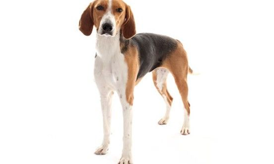#AmericanFoxhound information including pictures, shedding, training, facts, price, coat, #americanfoxhoundhealth and care, behavior, keeping cost and much more at dogexpress.in