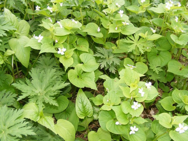 Native plants like viola Canadensis and geranium quickly take over a spot that meets their demands. This also means less expense when one plant trns into twenty.
