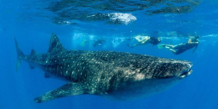 Volunteer in Mozambique - Whale Shark and Manta Ray Conservation including Padi Diving Course