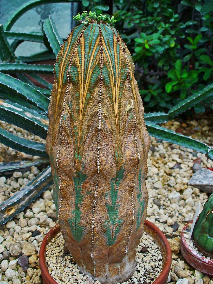 """Euphorbia obesa. Oh my goodness. Is this what my little 2"""" tall obesa will eventually grow up into?"""
