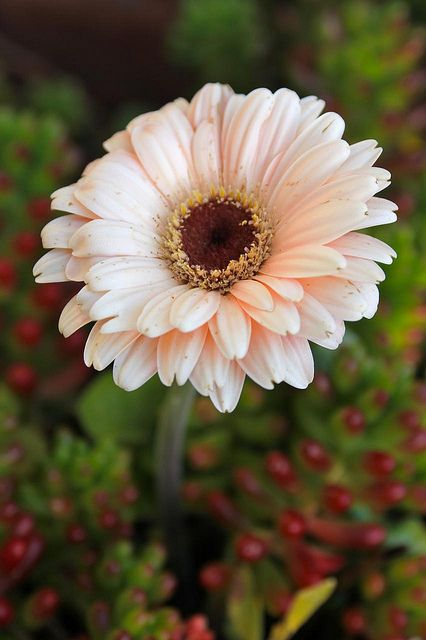 Gerbera Daisy.... My most favorite flower