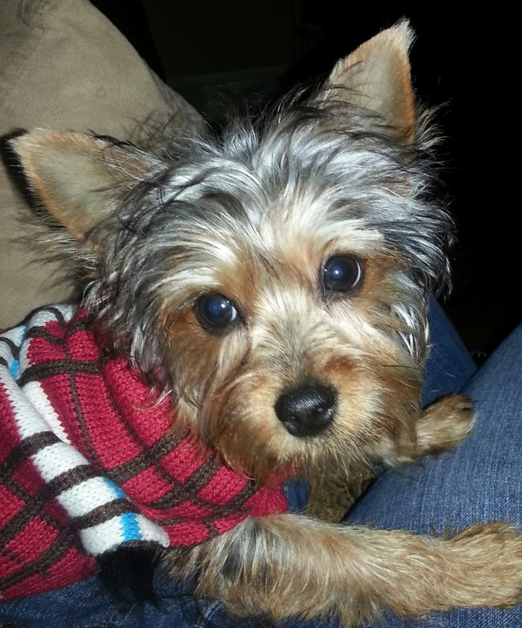 yorkie terrier breeds 97 best images about yorkshire terrier dogs on pinterest 7635