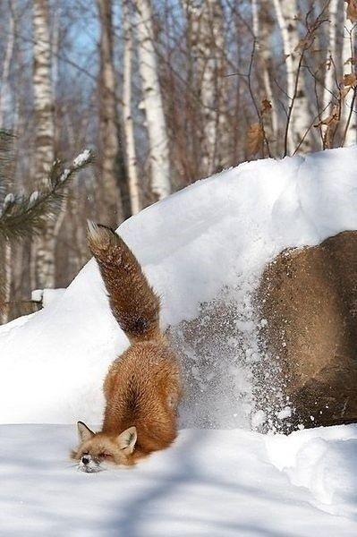 A little deeper snow than expected by this fox