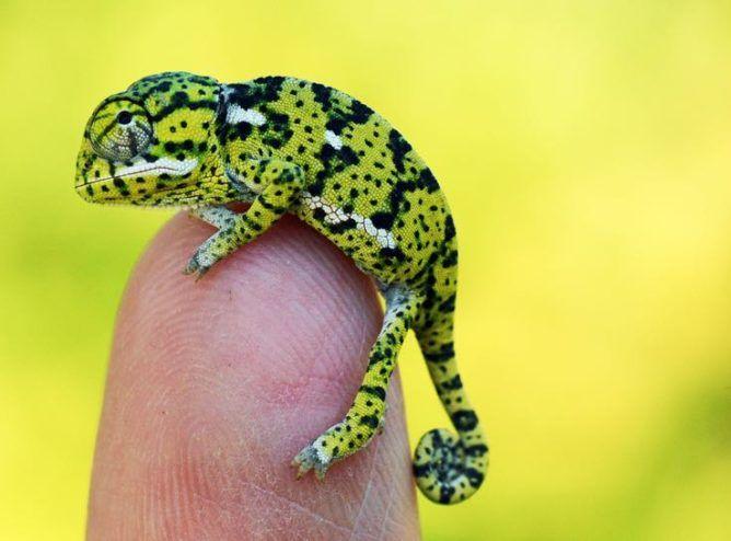 Flap-Necked Chameleon For Sale (Chamaeleo dilepis)