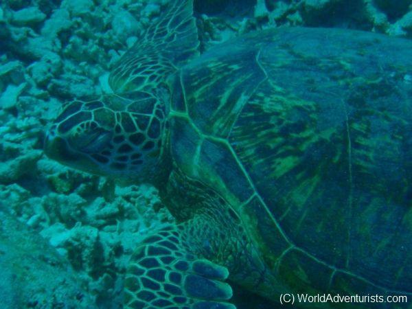 Sea Turtle - Hawaii