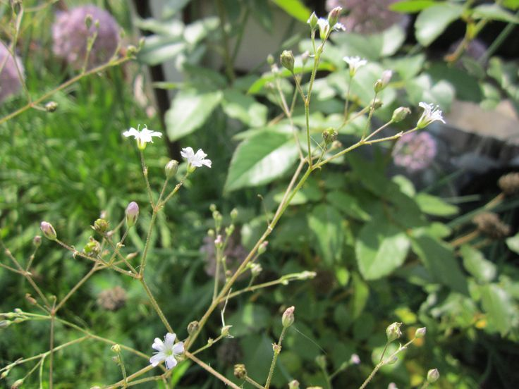 Гипсофила ползучая (Gypsophila repens) или тихоокеанская (Gypsophila рacifica) Роуз. Гипсофила — представитель семейства гвоздичных. Ее называют еще «дыхание ребенка», «качим», «перекати-поле». Свое официальное название гипсофила получила от двух греческих слов «gypsos» (гипс) и «рhilos» (друг). Получается «дружащая с известью». И действительно, многие виды гипсофилы растут именно на известняках.