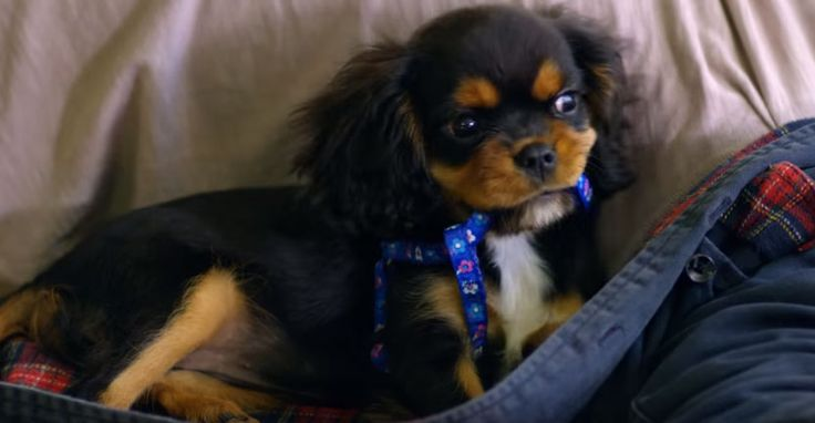 Chloe the adorable Cavalier King Charles Spaniel puppy is back with her new Purina Puppy Chow advertisement! And of course as usual, Chloe isawesome and so adorable! Yes this video is an ad,but regardlessyou'll surely enjoy watching just by seeing this cute little pooch's tiny but oh so adorable face! Enjoy! In thisvideothe Cavalier King …