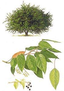 Maqui, ejemplar de flora nativa | ambient-all.org
