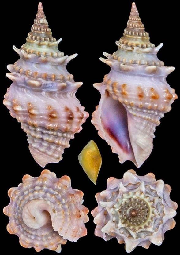 muszle ślimaków morskich | Królestwo zwierząt – Mięczaki (Mollusca)