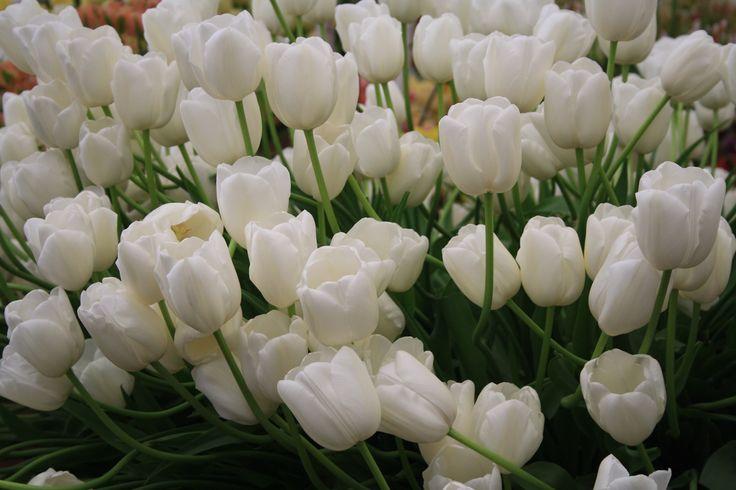 Plain but white tulips